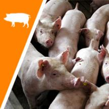 Porcs heureux