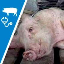 Méningite du porc